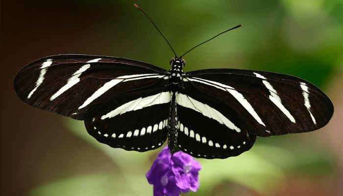 Las Mariposas Cebras