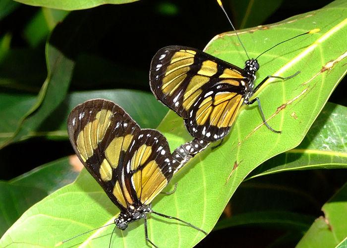 Anatomía sexual masculina y femenina de las mariposas
