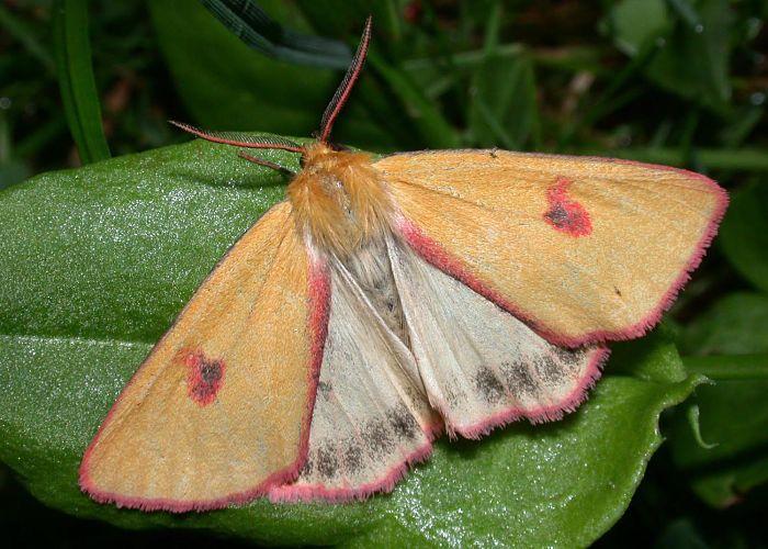 Mariposa escama de borde ensangrentado