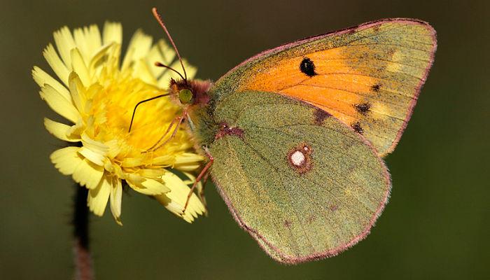 Mariposa amarilla nublado colias