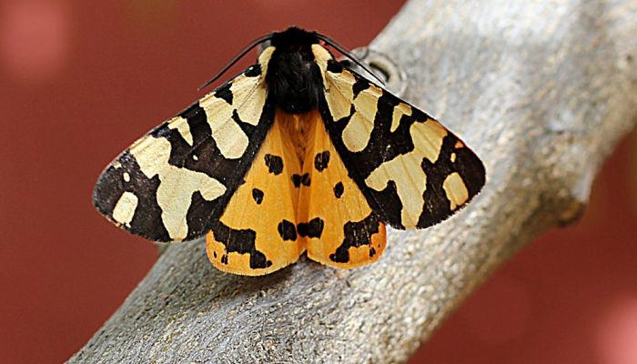 Mariposa polilla tigre