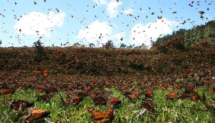 migración de las mariposas y distribución