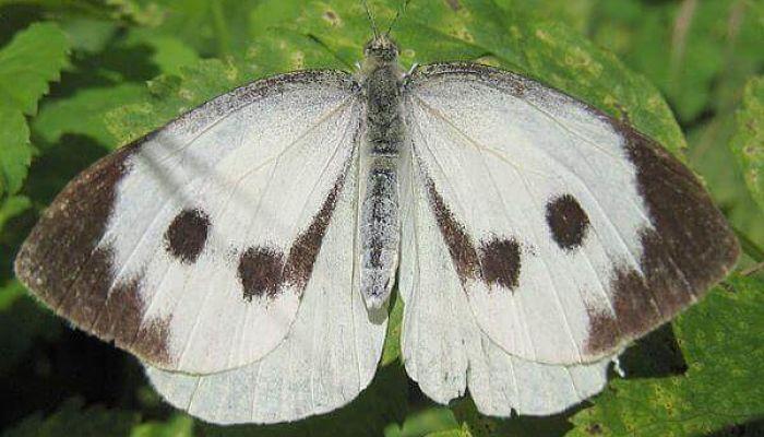 Mariposa blanca de la col