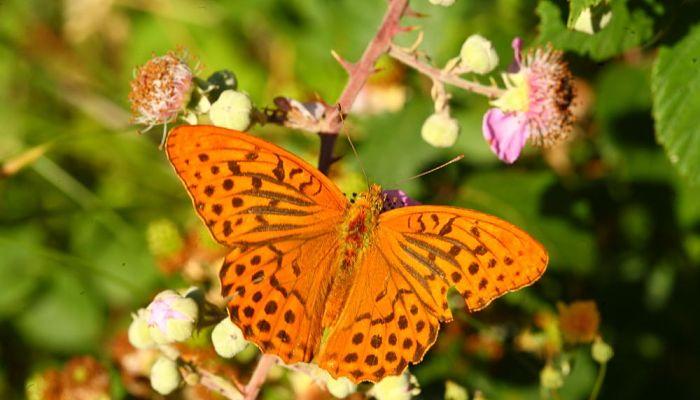 mariposa nacarada