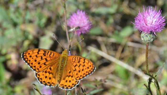 Mariposa Adipe (ArgynnisAdippe)
