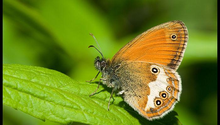 Mariposa ninfa perlada