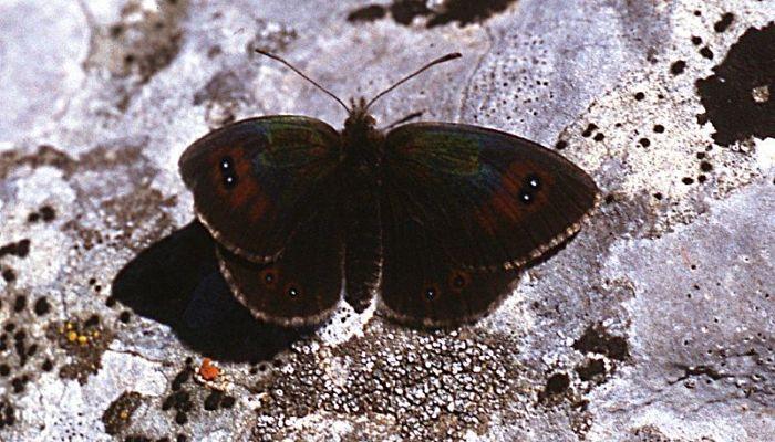 Mariposa Erebia Metálica Común