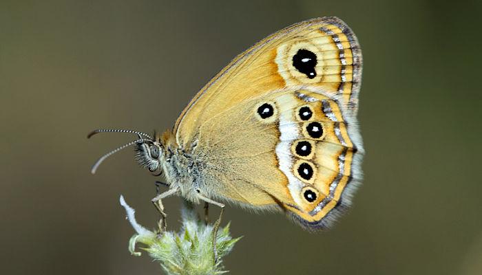Mariposa ninfa de esper
