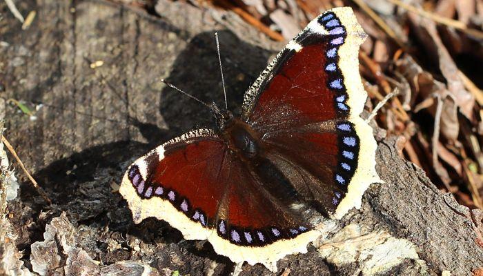 Mariposa antiopa