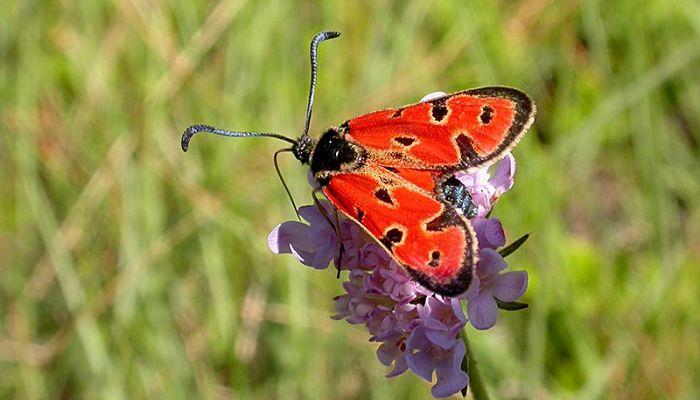 Mariposa gitanilla roja