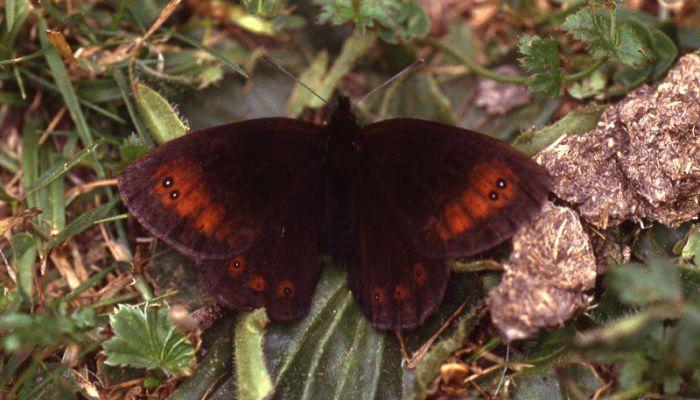 Mariposa Erebia oscura de esper (Erebia Pronoe)