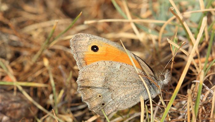 Mariposa lobito Hyponephele lycaon