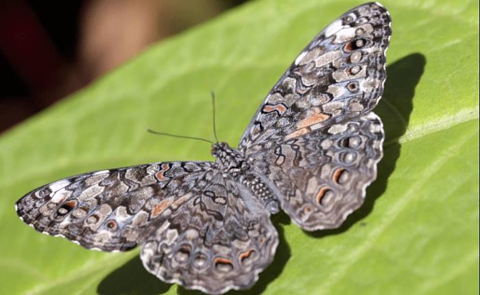 Mariposa hamadryas februa