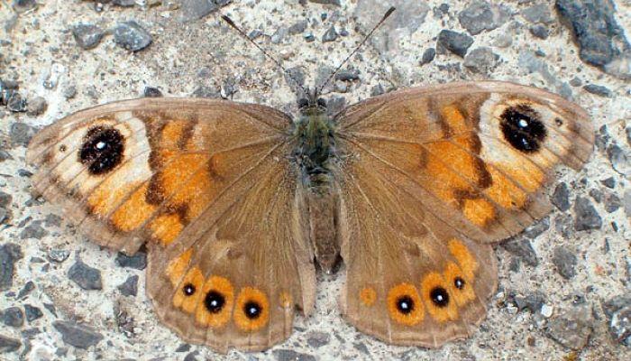 Mariposa pedregosa