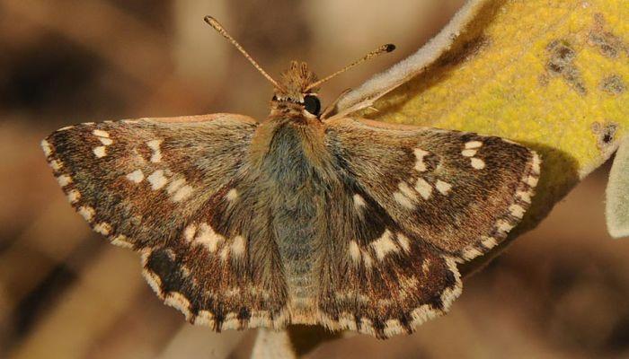 Mariposa polvillo dorado