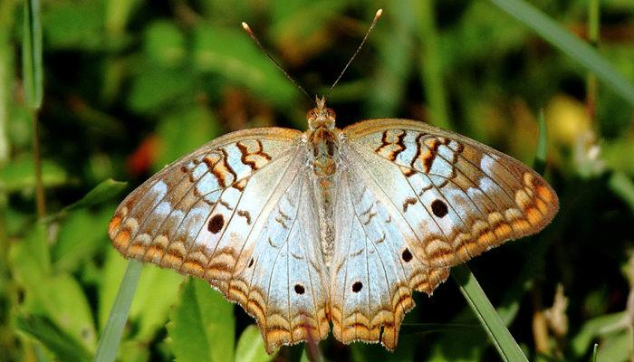 Mariposa princesa perlada Anartia jatrophae