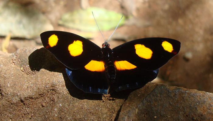 Mariposa Terciopelo Manchado
