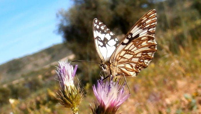 Mariposa medioluto herrumbrosa