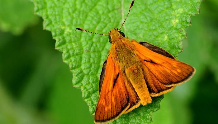 Mariposa dorada de orla ancha