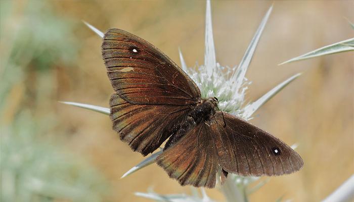 Mariposa sátiro negro