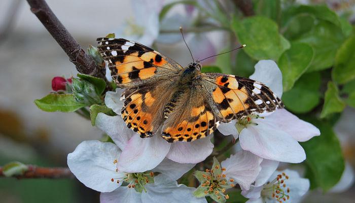 Mariposa Vanesa de los Cardos