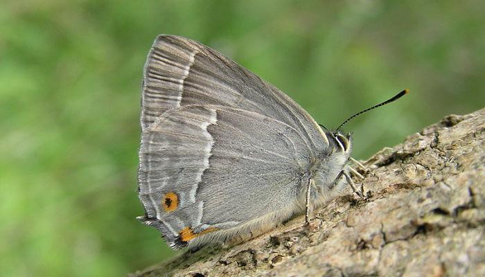 Mariposa favonius quercus