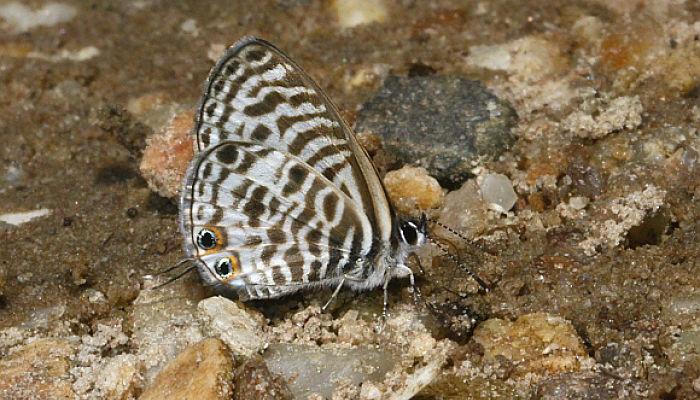 Mariposa gris estriada Leptotes pirithous