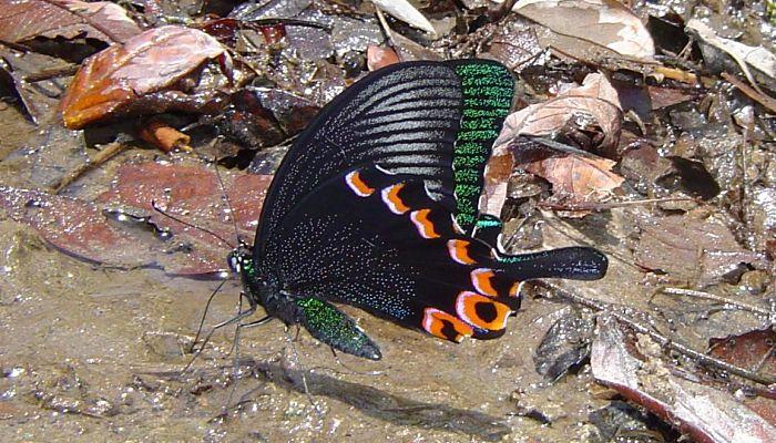 El pavo real de Luzón (Papilio Chikae)