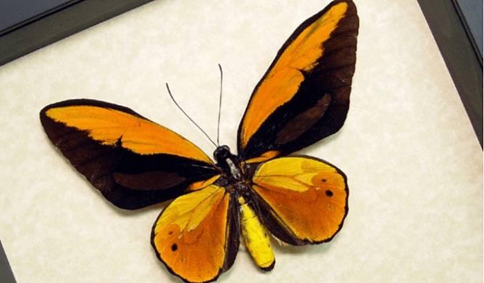 Ornitóptero croesus