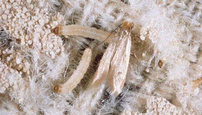 Tineola bisselliella