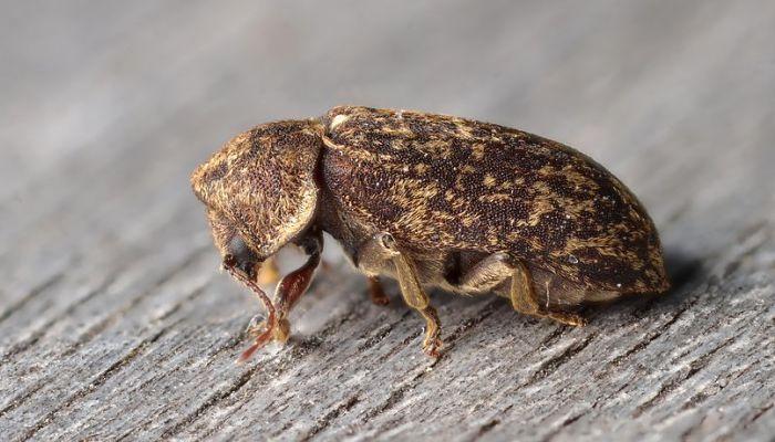 escarabajo Death watch