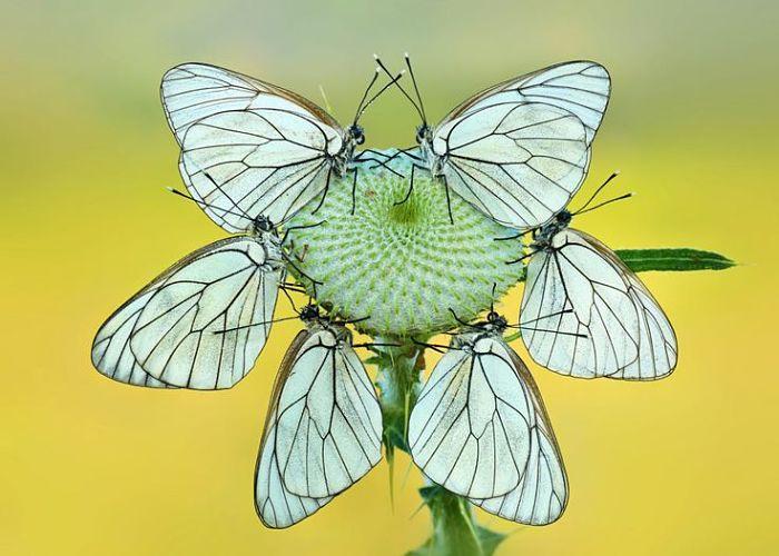 Mariposas diurnas