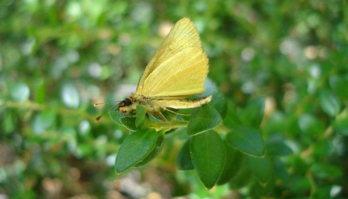 Mariposas Diurnas dorada oscura