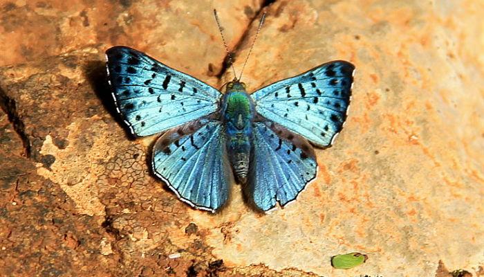 Mariposa Brillantina celeste común