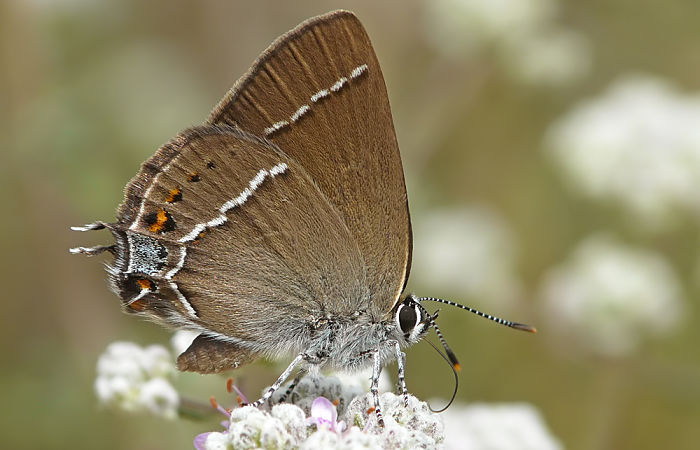 Mariposas diurnas mancha azul