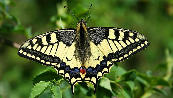 Mariposas diurnas macaón