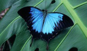 Mariposa Ulises: Características, Hábitat, Alimentación Y Más