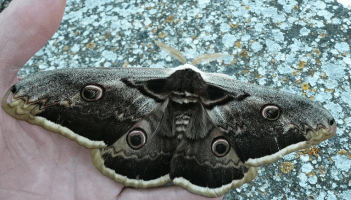 Mariposas nocturnas gran pavón nocturno