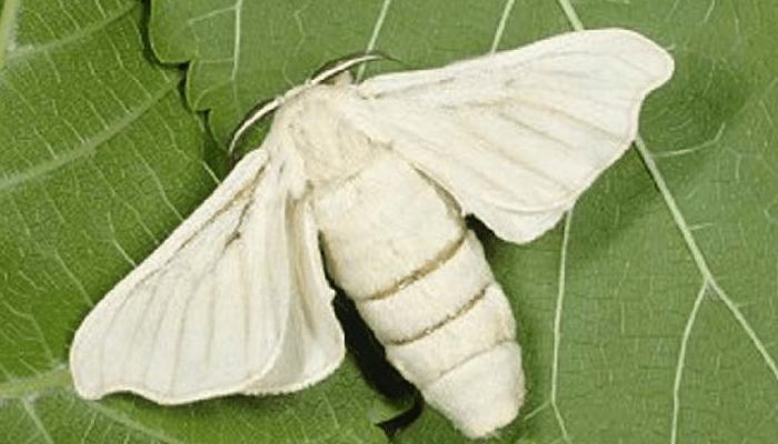Mariposas nocturnas gusano de seda