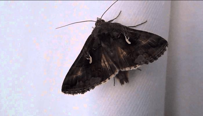 Mariposas nocturnas plusia