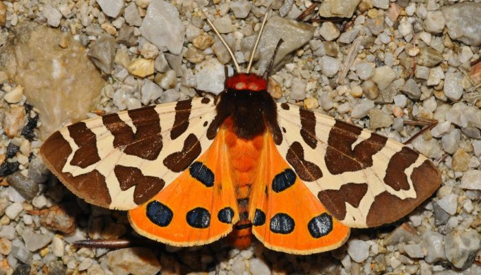 Mariposa Gitana