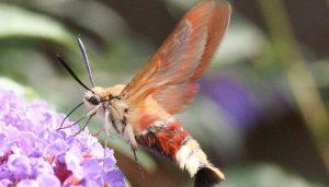 Mariposa Aberrojo De Orla Ancha