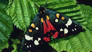 Mariposa Tigre Escarlata