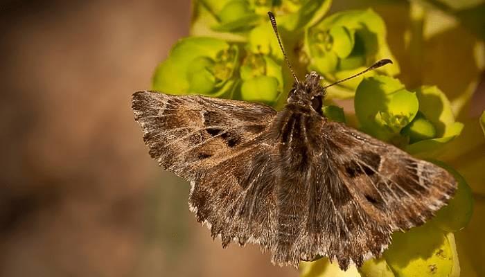 Mariposa piquitos castaña