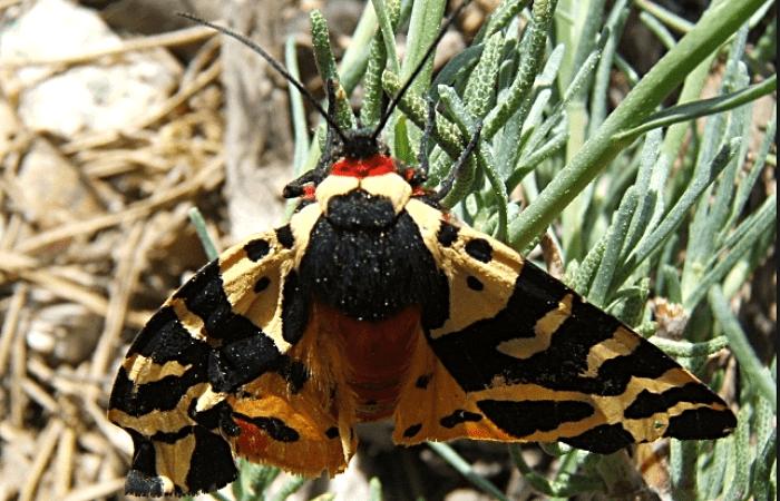 Mariposa gitana atigrada