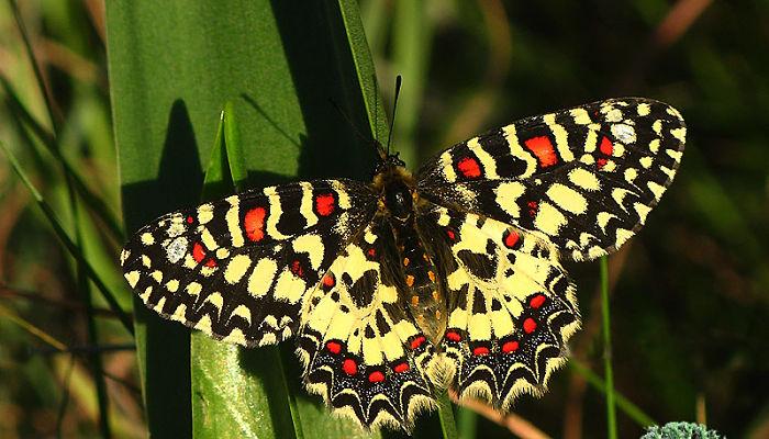 Mariposa Arlequín