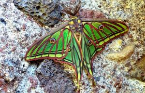 Mariposa Isabelina