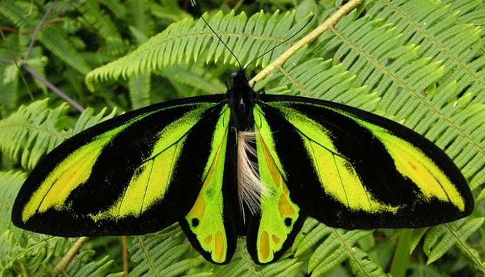 Mariposa Alas De Pájaro: Descripción, Hábitat, Alimentación Y Más.