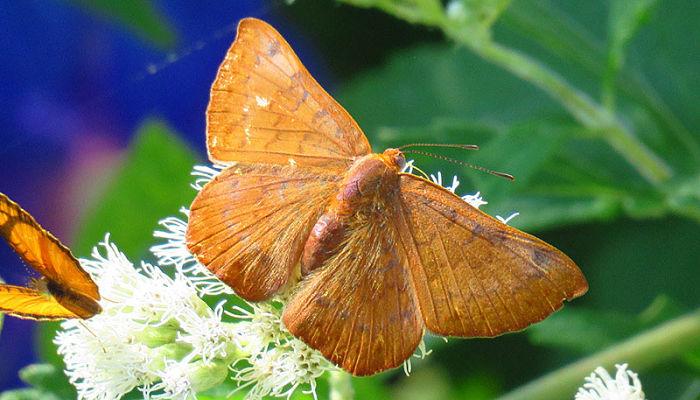 Mariposa acróbata rojiza