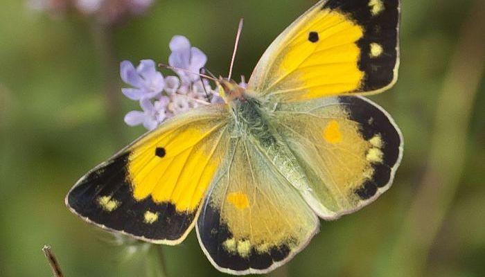 Mariposa Amarillo Nublado